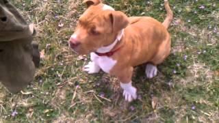 Training pitbull puppy protection dog