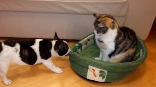 Dogs and cats fighthing for beds - Funny dog & cat compilation
