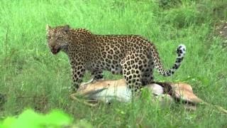 Leopard Impala Fresh Kill 4k - Botswana