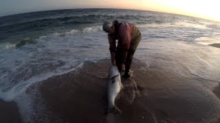 Surf Fishing for Striped Bass - HUGE TROPHY COW Striper Released