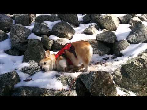 Lovable Corgi enjoys playtime in the snow