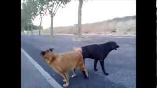 Cães fazendo amor de maneira estranha # Sharápov.