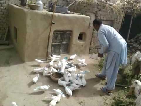 Kabootar Bazi 293 E.B Ram Jaane