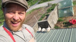 GUINEAS ON THE ROOF!