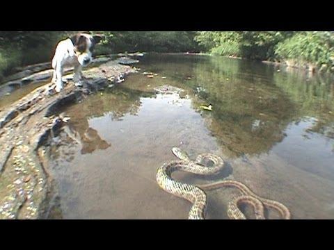 Jack Russell Terrier vs. Snake