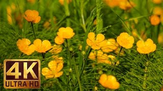 Golden Creeping Buttercups   3 Hours Birds Songs (Nature Sounds) Relaxation Video in 4K UHD