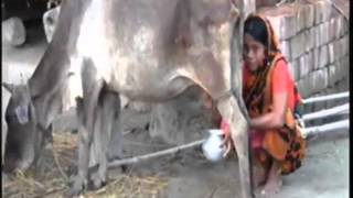 My Village women yashoda Milking cow
