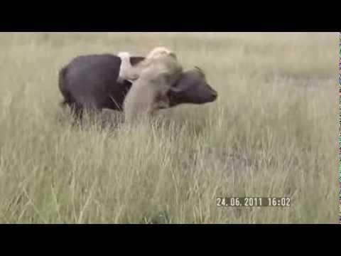 Búfalo brigando com leão no mano a mano veja quem levou a melhor bufallo x lion bufalo x leon