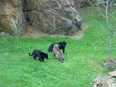 Naturaleza Salvaje. Pantera Vs Jaguar