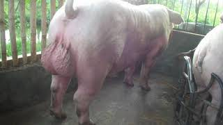 Sow and Boar Hog Mating