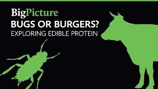 Bugs or Burgers? Exploring edible protein | A Big Picture film