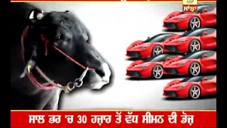 Bull which earns more than 1 crore per year