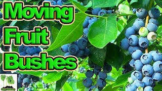 How To Move Or Plant Fruit Bushes