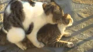 kucing kawin paksa!!