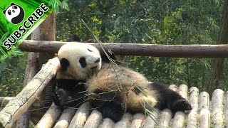 Lazy panda does exercise on bed.
