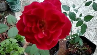 How to create Rose plants from rose branches
