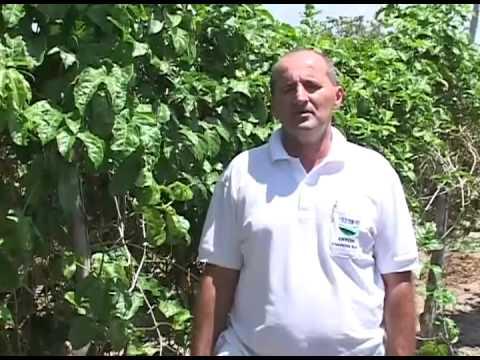 TV RURAL 277 PLANTIO DE MARACUJÁ PARTE 2