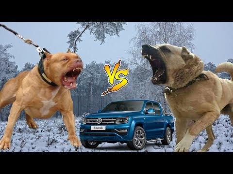 KANGAL mı ? PITBULL mu ? ( Dünyanın En Güçlü Köpek ırkı Hangisi ? ) pitbull vs kangal