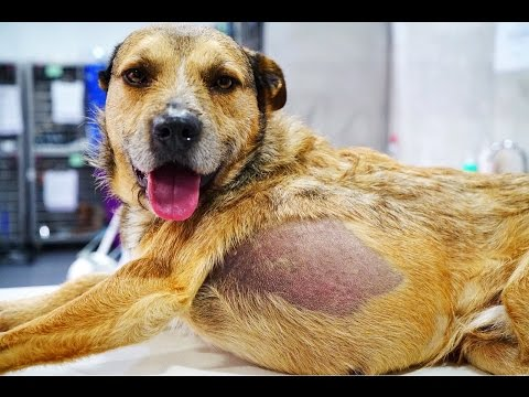 DOG rescued from the streets with MASSIVE TUMOR INSIDE HIM needs URGENT SURGERY