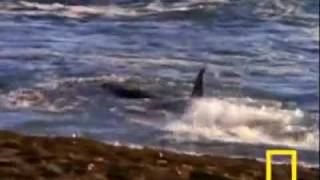 Whales Vs. sea lions.  Interesting  نهنگ ها و شکار شیر دریایی
