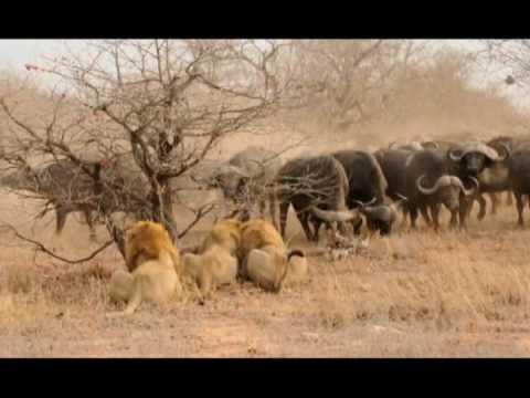 The Confrontation 3 male Lions versus 300 Cape Buffalo