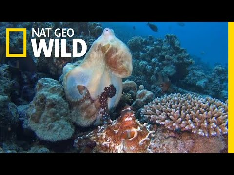 """Xxx Mp4 Octopuses Mate With A Special """"Sex Arm"""" Nat Geo Wild 3gp Sex"""