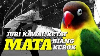 BRANDY WATCH : Juri Kawal Ketat Mata Lovebird BIANG KEROK Kedip Sambil Ngekek Panjang