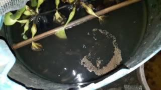 Budidaya ikan gabus dalam drum