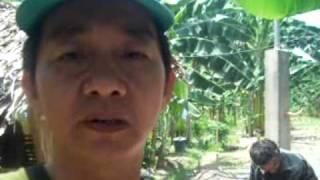 organic/inorganic fertlizer-cavendish banana plantation (part 1)