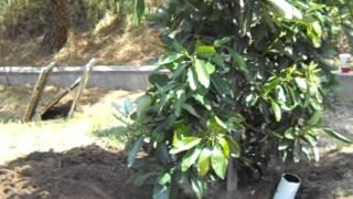 Hass Avocado Tree Specimen Size Planting.AVI