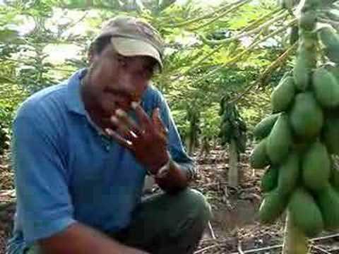 En el Huerto de Papaya