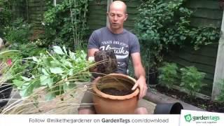 How to Pot Dahlias