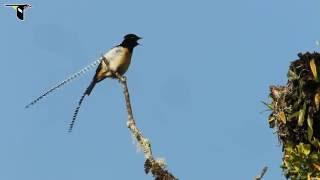 Bird of Paradise Papua