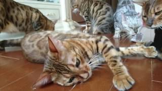 ベンガル猫軍団&ミッキー君の撮影お疲れ様マタタビ打ち上げパーティーその2