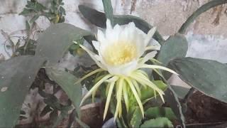 تفتح زهرة فاكهة التنين Pitaya Hylocereus