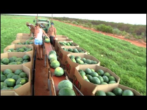 World s Largest Watermelon Farm. Tons of Watermelon Growing Like This.