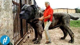 10 Anjing Penjaga TERBESAR Di Dunia, Ngeliat Ukurannya Bikin PENJAHAT Keder Duluan