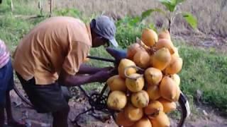 Gonapinawula Sri Lanka Loading Coconuts Video