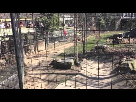 Person jumping tiger fence at Toronto Zoo for a hat