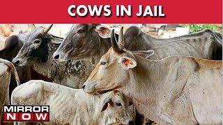 Cows To Be Kept In Haryana Jails, Inmates Can Serve Cows & Wash Sins