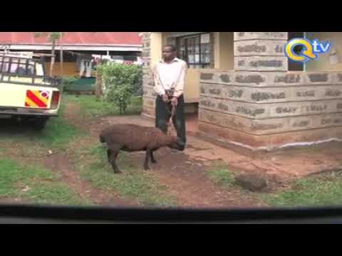African Man Raping A Sheep