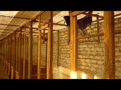 Criadero de Gallos de Pelea Galpon Stefano 2010 2011 2ª parte