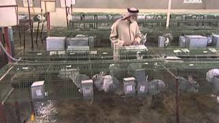 #اليوم مزارع للأرانب لحل أزمة الغذاء في #الإمارات