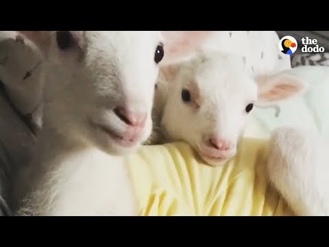 Xxx Mp4 Rescued Lambs Dance Together When They39re Happy The Dodo 3gp Sex