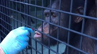 LIVE: Rescued Chimps Explore New Home | The Dodo LIVE