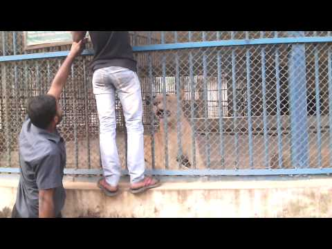Xxx Mp4 Lion Roaring In The Cage Dhaka Zoo MIrpur 3gp Sex