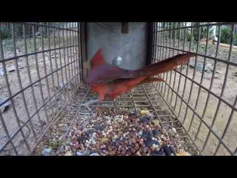 Trapping a Male Cardinal