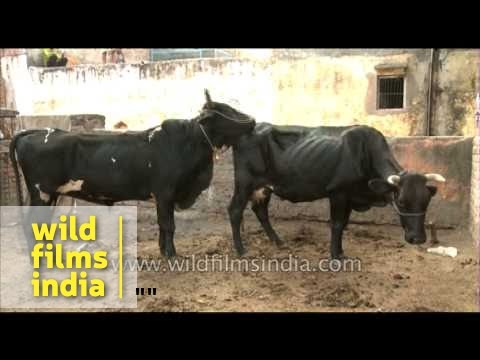 Thin cows mating in India