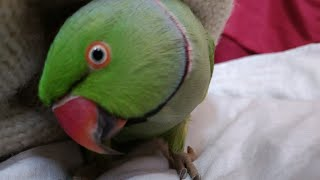 Mitthu the Indian best ringneck parrot