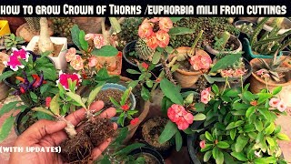 Grow Crown of Thorns/Euphorbia Milii From Cuttings (Fast N Easy)